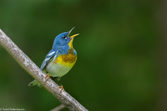 CA3I1770-Northern Parula (tfells) Tags: northernparula warbler bird nature wildlife delawarewatergap pennsylvania songbird passerine setophagaamericana
