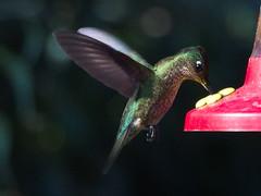 Picaflor chico (Sephanoides sephanoides). (Andres Bertens) Tags: 8599 olympusem10markii olympusomdem10markii olympusm75300mmf4867ii olympusmzuikodigitaled75300mmf4867ii rawtherapee bird picaflor hummingbird sephanoidessephanoides