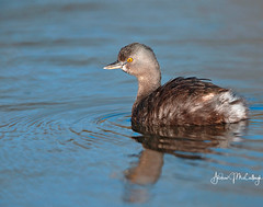 Least Grebe (Let there be light (A.J. McCullough)) Tags: texas texasbirds birds grebe leastgrebe esterollanogrande weslaco southtexas