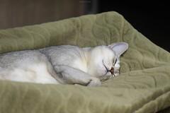 20190414_04_LR (enno7898) Tags: panasonic lumix lumixg9 dcg9 xvario 35100mm f28 cat abyssinian pet