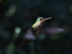 Picaflor chico (Sephanoides sephanoides). (Andres Bertens) Tags: 8594 olympusem10markii olympusomdem10markii olympusm75300mmf4867ii olympusmzuikodigitaled75300mmf4867ii rawtherapee picaflor hummingbird sephanoidessephanoides bird