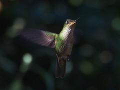Picaflor chico (Sephanoides sephanoides). (Andres Bertens) Tags: 8595 olympusem10markii olympusomdem10markii olympusm75300mmf4867ii olympusmzuikodigitaled75300mmf4867ii rawtherapee picaflor sephanoidessephanoides hummingbird bird