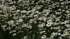 Meine Margeriten (Leucanthemum vulgare) Plantage; Bergenhusen, Stapelholm (5a) (Chironius) Tags: stapelholm bergenhusen schleswigholstein deutschland germany allemagne alemania germania германия niemcy blüte blossom flower fleur flor fiore blüten цветок цветение asterids campanuliids asterales korbblütler asteraceae asteroideae margeriten leucanthemum weis