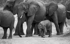 Part of the herd (Sheldrickfalls) Tags: elephant elephants elephantherd elephantcalf mahonielooproad mahonie s99 pundamaria punda krugernationalpark kruger krugerpark limpopo southafrica