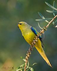 Elegant Parrot (Jennie Stock) Tags: neophemaelegans elegantparrot bridgetown