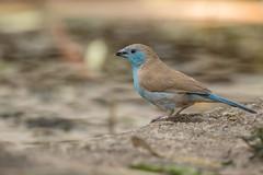 Azulito Angoleño (ik_kil) Tags: bluebreastedcordonbleu azulitoangoleño bluewaxbill uraeginthusangolensis krugernationalpark kruger southafrica