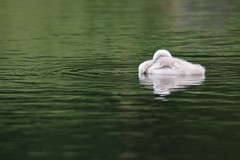 A little bit sleepy (ianderry64) Tags: float rest sleep leicestershire park bradgate fowl animal new life reflection river young chick cygnet mute swan
