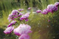 _P3Q1676 (wellenkern) Tags: rosen garten natur flower blumen pflanzen flora blumenwiese sommer sigmaquattro dp3 makro meadow pfingstrosen bläuling schmetterling butterfly bunt colorful