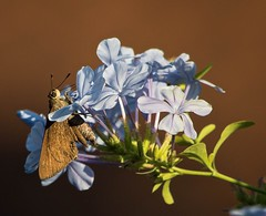 Among The Plumbago Petals (ACEZandEIGHTZ) Tags: asboliscapucinus monkskipper moth butterfly macro closeup nikon d3200 winged flyinginsect plant flowers plumbago alittlebeauty coth coth5 sunrays5 naturethroughthelens