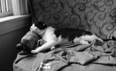 Gavin (neilsonabeel) Tags: leicam6 leica rangefinder film analogue blackandwhite cat tuxedocat pet summicron leitz