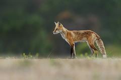 Prowling Fox (just4memike) Tags: animal blurredbackground brush cute eye fur grass mammal nature predator wildlife red fox