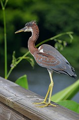 Juvenile Tri-Colored Heron strutting on rail (jungle mama) Tags: heron tricoloredheron yellowfeet brown rail wakodahatcheewetlandsdelraybeachfl susanfordcollins waterbird egrettatricolor coth5