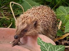 Igel im Garten - Google Pixel 3a XL (Andreas Voegele) Tags: googlepixel3axl googlepixel pixel3axl teampixel hedgehog garden animal igel andreasvoegelephoto