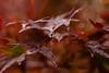 モミジ - Momiji (Hachimaki123) Tags: 高尾山 takaosan 日本 japan mttakao 植物 紅葉 モミジ momiji