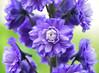 Delphinium 'Highlander Bolero' (Seventh Heaven Photography - (Flora)) Tags: delphinium blue flowers flora blooms plant nikond3200 highlander bolero garden june summer