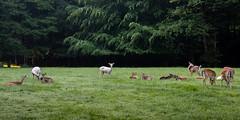Wildpark (janeway1973) Tags: hessen deutschland germany büdingen wald forest bäume trees nature natur deer rehe does