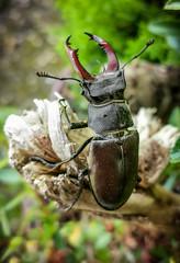 Hirschkäfer (janeway1973) Tags: hirschkäfer stag beetle insect insekt nature natur hessen deutschland germany büdingen huawei smartphone handy macro makro closeup nahaufnahme
