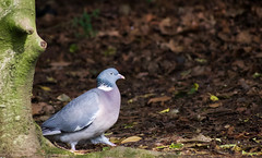 Common Wood-Pigeon (Columba palumbus) (Kremlken) Tags: england pigeons woods parks birds birding birdwatching nature nikon500