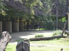 Blauhals Strauße (✿ Esfira ✿) Tags: tiergartenschönbrunn viennazoo blauhalsstrause southafricanostriches wien vienna österreich austria