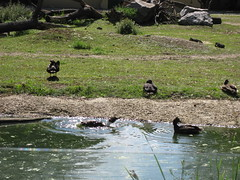 Krickenten (✿ Esfira ✿) Tags: tiergartenschönbrunn viennazoo krickenten eurasianteal commonteal wien vienna österreich austria