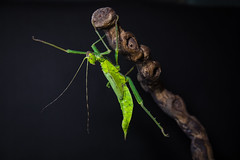 Malaysian Jungle Nymph (ToriAndrewsPhotography) Tags: green insect photography andrews jungle workshop stick tori incredible malaysian nymph invertebrate inverts