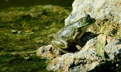 Bullfrog (Rana catesbeiana);  Tucson, AZ, Sweetwater Wetlands [Lou Feltz] (deserttoad) Tags: wildanimal animal preserve water pond outdoors arizona amphibian frog herp