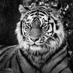 Marty Amur Tiger (amcgdesigns) Tags: andrewmcgavin animalsandbirds animal tiger tigger amurtiger blackandwhite flickrbigcats highlandwildlifepark marty squarecrop monochrome nikcollection silverefex canon100400mm