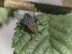 LA MOSCA (BLAMANTI) Tags: mosca la pegajoso olympus olympusomd blamanti