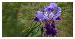 An Iris Explodes (Richard Murrin Art) Tags: iris explodes richard murrin aer