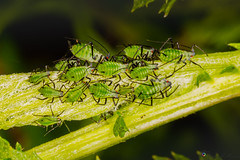 """Aphids • <a style=""""font-size:0.8em;"""" href=""""http://www.flickr.com/photos/126602711@N06/48001121938/"""" target=""""_blank"""">View on Flickr</a>"""