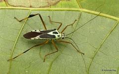 Leaf-footed Bug, Stenoscelidea sp., Coreidae (Ecuador Megadiverso) Tags: andreaskay coreidbug coreidae ecuador hemiptera heteroptera leaffootedbug pentatomomorpha truebug stenoscelidea