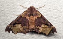 Pretty Moth, Pero jimenezaria, Geometridae (Ecuador Megadiverso) Tags: andreaskay ecuador moth wildsumaco perojimenezaria geometridae