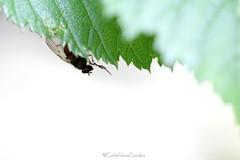 Diptera (CarloAlessioCozzolino) Tags: cornatedadda portodadda diptera dittero mosca macro insetti insects bug