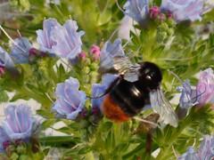 Red tailed bumble bee (green gennii) Tags: bumblebee echium garden june