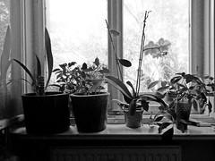 Still-Leben (onnola) Tags: 3652019 berlin deutschland germany kreuzberg blume flower blüte blossom pflanze plant fenster window zimmerpflanze fensterbrett windowsill schwarzweis blackandwhite bw sw monochrom monochrome