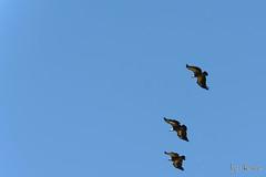 Convento de la hoz (profesorxproyect) Tags: nikon d7100 70200mm nature naturaleza hocesdelduraton sebúlcor buitres vulture