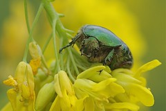 Rose Chafer Beetle-Cetonia aurata (Phasmomantis) Tags: rose chafer beetle insect wildlife nature pentax