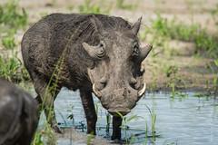 Old Man Warthog