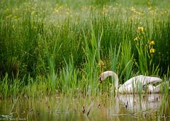 Swan @ Exminster Marshes (pootlepod) Tags: canon 7dmkii wildlife rspb exminstermarshes marshes wetland sedgewarbler sedge warbler swan reeds iris tranquility uk devon raw song birdsong birds bill beak feather