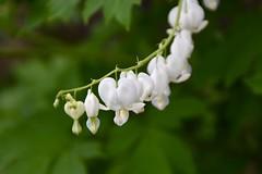 Bleeding Heart (Linda Ramsey) Tags: spring ontario june flower bloom white bleedingheart