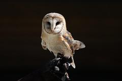 Schleiereule (Tytonidae) (Conchulio) Tags: eule frankreich vogel wildlife tier black focus owl