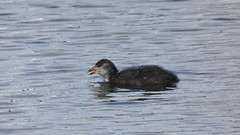 Juvenile coot (Deanne Wildsmith) Tags: coot bird waterfowl bartonmarina staffordshire earthnaturelife