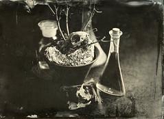 Dry (Rosenthal Photography) Tags: aluminotypie knochen flasche kollodium stilleben lloydspecialextrarapidrectilinear5x8 20180602 nasplatte topfpflanze fkd13x18 schädel tintypie analog 13x18 oldworkhorse stilllife indoor mood flower dry bottles skull bones fkd lloyd special rapid rectilinear 5x8 wetplate collodion tintype aluminotype ilford fixer