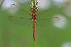 Sympetrum (HimalAnda) Tags: sympetrum libellule dragonfly insecte insect macro macrophotography macrophotographie grosplan closeup tamron90mm canoneos70d eos70d stéphanebon vendée france