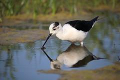 Black-wingd stilt (Nora077) Tags: birds spain cigüeñuela blackwinged stilt gólyatöcs nora toth girona