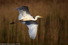 Great White Egret in flight I39550 (wildlifetog) Tags: great wild wildlife wings white egret mbiow martin marshes blackmore britishisles bird birds british brading isleofwight uk inflight rspb