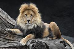 African lion - Tierpark Hagenbeck (Mandenno photography) Tags: animal animals african lion lions leeuw leeuwen bigcat big cat duitsland dierenpark dierentuin ngc nature natgeo natgeographic zoo tierpark hagenbeck