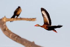 Whistling duck. (zachzombiesphotos) Tags: duck birdphotography canon wildlifephotography animalphotography nature wildlife bird
