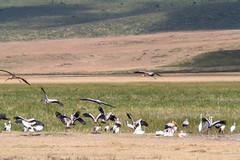 Yellow-billed Stork, Ngorongoro, Tanzania (Amdelsur) Tags: tanzanie tantaleibis continentsetpays caldeiradungorongoro afrique africa mycteriaibis ngorongorocaldera tz tza tanzania tántaloafricano yellowbilledstork régiondarusha