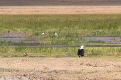 African Fish Eagle,  Ngorongoro, Tanzania (Amdelsur) Tags: tanzanie pygarguevocifère continentsetpays caldeiradungorongoro afrique africa africanfisheagle haliaeetusvocifer ngorongorocaldera pigargovocinglero tz tza tanzania régiondarusha